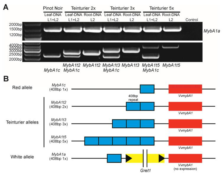 The tandem repeat mutation in the promoter region of VvmybA1 specific for teinturier varieties. ( A ) PCR result of the white ( MybA1a ), red ( MybA1c ) and teinturier alleles ( MybA1t2 , MybA1t3 and MybA1t5 ) of DNA prepared from leaves (L1 + L2) and roots (L2) of three different 'Teinturier' clones. 'Pinot Noir' as reference. ( B ) Schematic diagram of the three teinturier alleles found ( MybA1t2 , MybA1t3 and MybA1t5 ) named based on the repeat number of the 408 bp GCE element (grapevine color enhancer) in the promoter region of VvmybA1. Red and white alleles as reference.