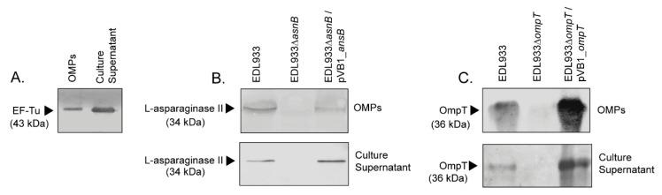 Determination of the presence of EF-Tu, l -asparaginase II and OmpT in outer membrane protein (OMP) extracts and culture supernatants. Protein extracts were separated by SDS-PAGE (12% acrylamide) and analyzed by Western blot assay. Arrows indicate the detection of the corresponding protein. ( A ) Identification of EF-Tu in OMPs and culture supernatant of the EDL933 strain. Monoclonal anti-EF-Tu antibody (mAb 900) was used in a dilution of 1:2000, followed by anti-mouse <t>IgG,</t> <t>HRP</t> conjugate diluted 1:5000. ( B ) Identification of l -asparaginase II in the OMP extracts and culture supernatant obtained from the EDL933, the isogenic mutant ELD933∆ ansB and the complemented ELD933∆ ansB /pVB1_ ansB strains. Anti- l -asparaginase II antibody was used in a dilution of 1:2000, followed by anti-rabbit IgG, HRP conjugate diluted 1:5000. ( C ) Identification of OmpT in the OMP extracts and culture supernatant obtained from the EDL933, the isogenic mutant ELD933∆ ompT and the complemented ELD933∆ ompT /pVB1_ ompT strains. Anti-OmpT antibody was used in a dilution of 1:3000, followed by anti-rabbit IgG, HRP conjugate diluted 1:5000.