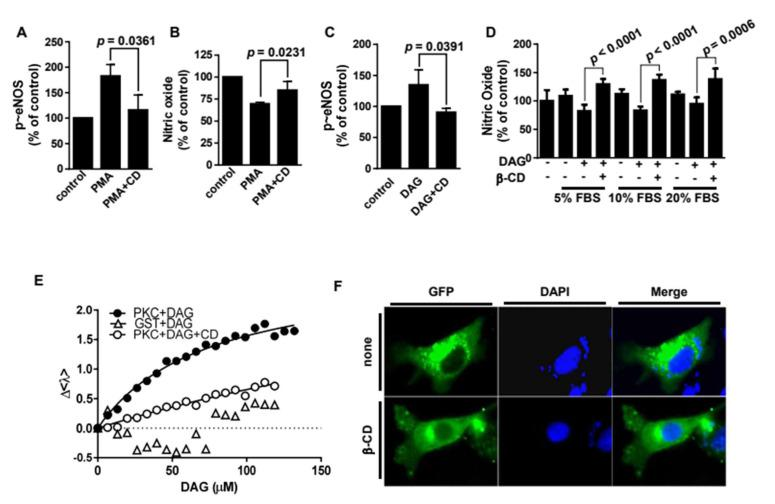 β-Cyclodextrin inhibits protein kinase Cε through molecular encapsulation of diacylglycerol. T-495 phosphorylation ( A ) and nitric oxide (NO) concentration ( B ) were measured after bovine aortic endothelial cells (BAECs) were pretreated with or without 100 nM <t>phorbol-12-myristate-13-acetate</t> (PMA) for 30 min and subsequently treated with β-cyclodextrin (β-CD) for 30 min. The data are shown as mean ± SE, n = 3. The p value was obtained through ANOVA followed by Tukey's test. ( C ). BAECs were pretreated with or without 100 μM diacylglycerol (DAG) 30 min before β-CD treatment. Then the cell lysates were immunoblotted with an antibody against T-495 phosphorylation. The data are shown as mean ± SE, n = 3. The p value was obtained through ANOVA followed by Tukey's test. ( D ). NO was measures as described in panel B. BAECs were pretreated with or without 100 μM DAG with or without β-CD in the presence of 5–20% fetal bovine serum. The data were plotted as bar graphs (means ± S.E., n = 3). The p value was obtained through ANOVA followed by Tukey's test. ( E ) Purified PKCε (0.89 μM) was incubated with the indicated concentrations of diacylglycerol (DAG) with or without β-CD at a 1:1 molar ratio. The fluorescence spectra of the mixtures were obtained; the average emission wavelengths (