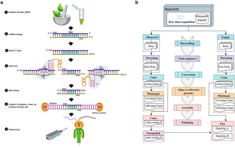 a In vitro CRISPR-Cas9 enrichment steps. High molecular weight nuclear DNA is extracted and crRNA probes designed. DNA 5′ ends are dephosphorylated to reduce ligation of sequencing adapters to non-target strands. Cas9 ribonucleoprotein particles (RNPs) bind at each side and cleave the region of interest (ROI). Double strand DNA is cleaved by Cas9 revealing blunt ends with ligatable 5′ phosphates. Cas9 remains bound to the protospacer adjacent motif (PAM)-distal end giving directionality for the strands towards the ROI. All DNA is dA-tailed, preparing the blunt ends for sequencing adapter ligation. ONT adapters are ligated to Cas9 cut sites which are both 3′ dA-tailed and 5′ phosphorylated. Library is cleaned to remove excess adapters using AMPure XP beads. Non-target molecules are not removed from the library. Library is added to the flow cell for sequencing. b Bioinformatics pipeline. Raw FAST5 reads are base called using Albacore2 (v2.3.4, ONT) and Guppy (v3.2.4, ONT) and converted to FASTQ. Reads get adapters trimmed using Porechop (v0.2.3 https://github.com/rrwick/Porechop ), corrected using Canu (v1.7) [ 36 ] and aligned to the apple reference genome ('Golden Delicious' double haploid GDDH13v1.1) [ 34 ] using Minimap2 (v2.9) [ 46 ] to localize physically the 'on-target' and 'off-target' enriched regions. A de novo assembly is performed by Canu (v1.7) [ 36 ] using Albacore2 (v2.3.4, ONT) corrected reads and polished using Nanopolish (v0.11.1) [ 37 ]. Canu_corrected reads and the Canu_nanopolished assembly are used as inputs to run the final assembly performed by Flye (v2.5) [ 38 ]