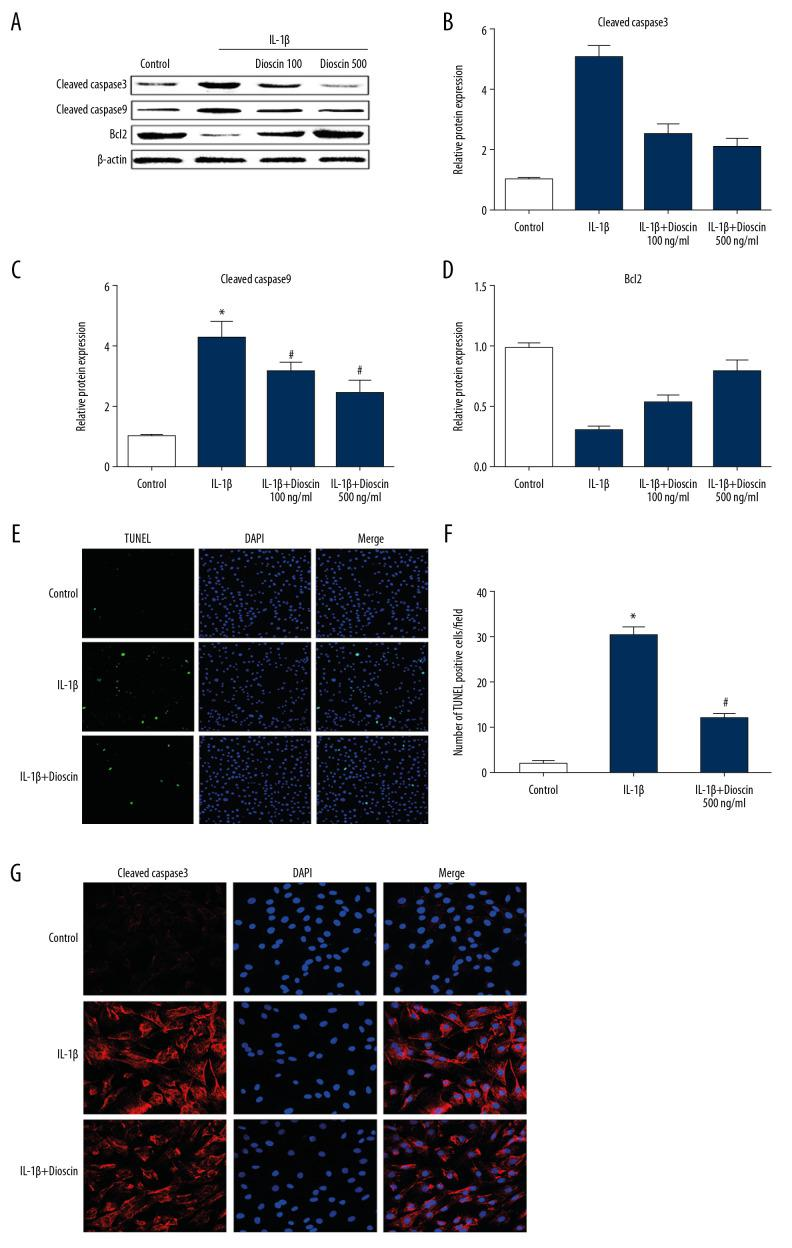 Effect of dioscin on IL-1β–activated apoptotic activity in human NP cells. ( A, B ) Apoptotic activity was evaluated using the TUNEL method. ( C–F ) Western blotting and quantitative analysis of cleaved caspase-3, -9, and Bcl-2 expressions. ( G ) Fluorescence immunostaining of cleaved caspase-3 (red) and nucleus (blue). The results are presented as the means ±SD. * P