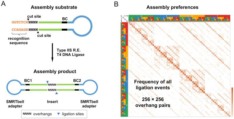 Golden Gate assembly assay schematic. (A) Hairpin DNA substrates containing a Type IIS recognition sequence (orange), randomized nucleotides at the Type IIS restriction site (NNNN), an internal 6-base random barcode (black), and a PacBio SMRTbell adapter sequence (blue) were synthesized. Golden Gate assembly of these substrates was carried out with T4 DNA ligase and a Type IIS restriction enzyme to produce circular assembly products. The assembly products were sequenced utilizing the PacBio Single-Molecule Real-Time sequencing platform. (B) For each sequenced assembly product, the overhang pair identity was extracted. The relative frequency of each overhang pair was determined and was represented as a frequency heat map (log-scaled). Overhangs are listed alphabetically left to right (AAAA, AAAC…TTTG, TTTT) and bottom to top such that the Watson–Crick pairings are shown on the diagonal represented above.