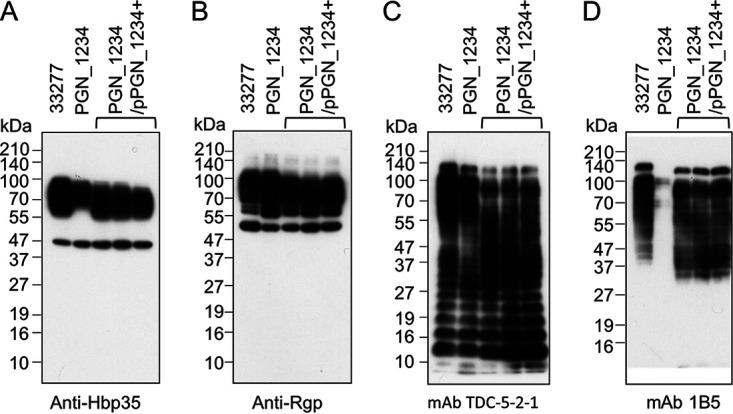 Immunoblot analysis of the PGN_1234 mutant. Whole-cell lysates of wild-type P. gingivalis ATCC 33277, the PGN_1234 mutant, and the complemented PGN_1234 + strains were separated by SDS-PAGE and immunoblotted using various primary antibodies, as shown. MAb 1B5 detects A-LPS while MAb TDC-5-2-1 detects both A-LPS and O-LPS.