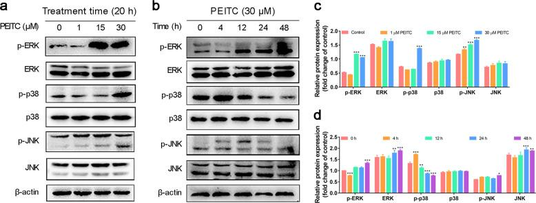 PEITC activated MAPK signaling pathway in K7M2 osteosarcoma cells. a , b Phosphorylation levels of ERK, p38, and JNK in K7M2 osteosarcoma cells treated by indicated concentrations of PEITC for 20 h or 30 μM PEITC for 4, 12, 24, and 48 h. c , d Quantitative analysis of ERK, p38, and JNK in K7M2 osteosarcoma cells treated by indicated concentrations of PEITC for 20 h or 30 μM PEITC for 4, 12, 24, and 48 h. All data were presented as mean ± SD, n = 3. * P