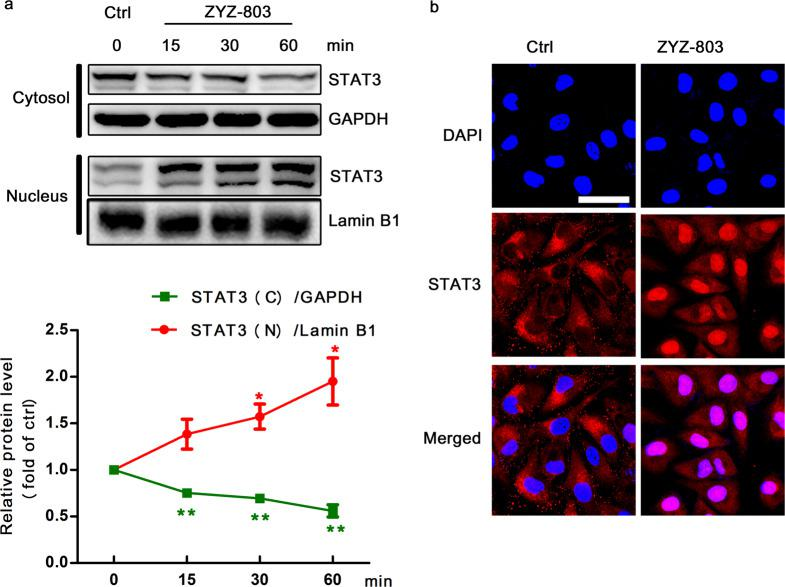 ZYZ-803 induced the nuclear translocation of STAT3. a HUVECs were treated with ZYZ-803 (1 µM) for 15, 30, 60 min, and then, cytoplasmic and nuclear proteins were isolated for Western blotting. GAPDH and Lamin B1 were used as a loading control for cytoplasmic and nuclear proteins, respectively. b HUVECs were treated with ZYZ-803 (1 µM) for 30 min and then stained with specific antibody (red) or DAPI (blue). Scale bar, 10 μm. n = 3 independent experiments. * P