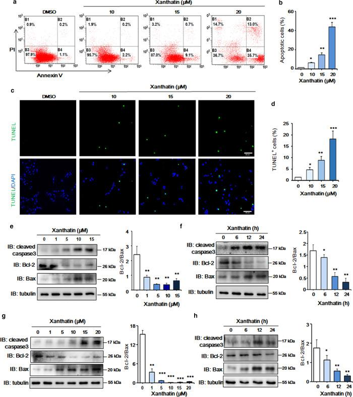 Xanthatin promotes the apoptosis of glioma cells. a The apoptosis rate of glioma cells was determined by flow cytometry with Annexin V/PI staining. C6 cells were incubated with 10, 15, and 20 µM xanthatin for 12 h. DMSO was used as a vehicle control. b Quantitative analysis of apoptotic cells in a . c TUNEL staining of C6 cells treated with xanthatin at the indicated concentrations for 12 h. d Quantitative analysis of TUNEL-positive C6 cells in c . e C6 cells were incubated with xanthatin at various concentrations for 12 h, and the levels of cleaved caspase-3, Bcl-2, Bax, and tubulin were detected by WB. f C6 cells were incubated with 15 µM xanthatin for 6, 12, and 24 h, and the levels of cleaved caspase-3, Bcl-2, Bax, and tubulin were determined by WB. g U251 cells were incubated with various concentrations of xanthatin for 12 h, and the levels of cleaved caspase-3, Bcl-2, Bax, and tubulin were detected by WB. h U251 cells were incubated with 15 µM xanthatin for 6, 12, and 24 h, and the expression levels of cleaved caspase-3, Bcl-2, Bax, and tubulin were determined by WB. Densitometric quantitative analysis of the Bcl-2/Bax ratio, which is expressed as the mean ± SEM of three independent experiments. * P