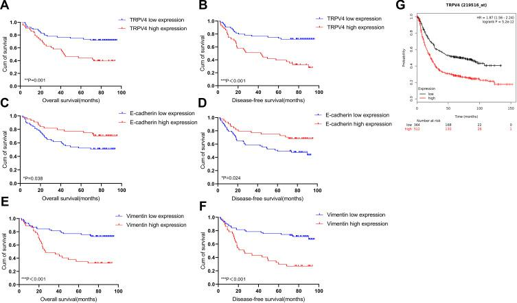 Survival curves using the Kaplan–Meier method by Log rank test. ( A and B ) The patients with high TRPV4 expression had shorter overall survival and disease-free survival than those with low TRPV4 expression. ( C and D ) The patients with low E-cadherin expression had shorter overall survival and disease-free survival than those with high E-cadherin expression. ( E and F ) The patients with high vimentin expression had shorter overall survival and disease-free survival than those with low vimentin expression. ( G ) Overall survival analysis of TRPV4 gene in gastric cancer obtained from Kaplan–Meier Plotter online ( http://kmplot.com/analysis/ ). *P