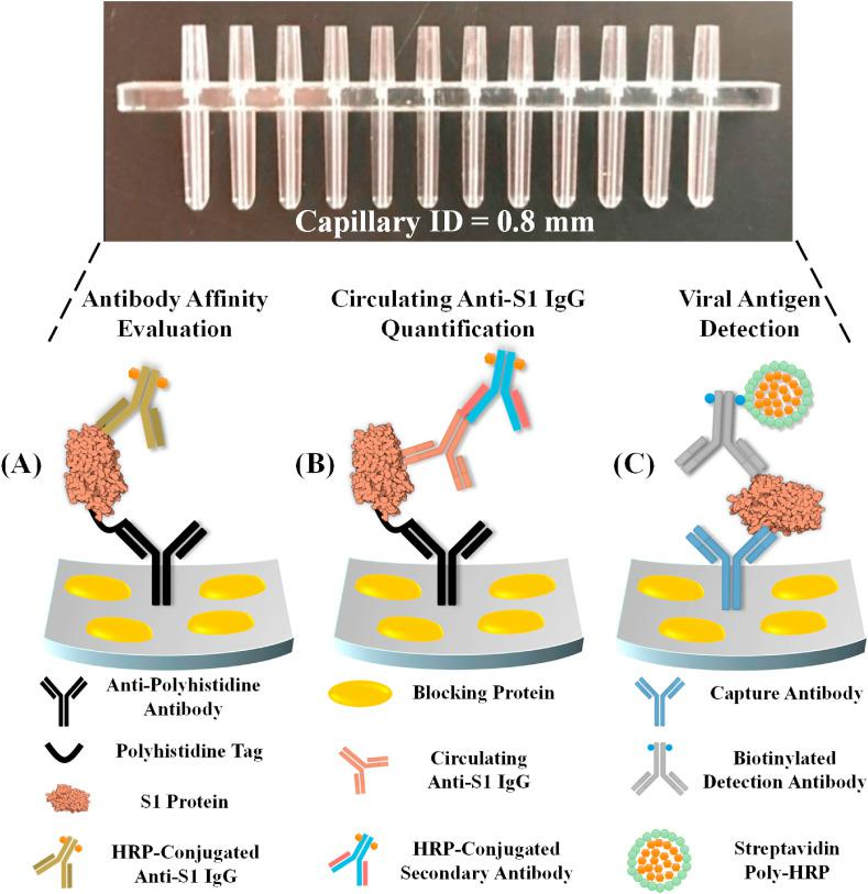 Graphical illustrations of the COVID-19 related immunoassays that were performed with our microfluidic chemiluminescent ELISA platform, including (A) affinity evaluation of calibration antibodies, (B) detection of circulating anti-SARS-CoV-2 S1 IgG in serum samples, and (C) detection of SARS-CoV-2 antigens such as S1 and N protein.