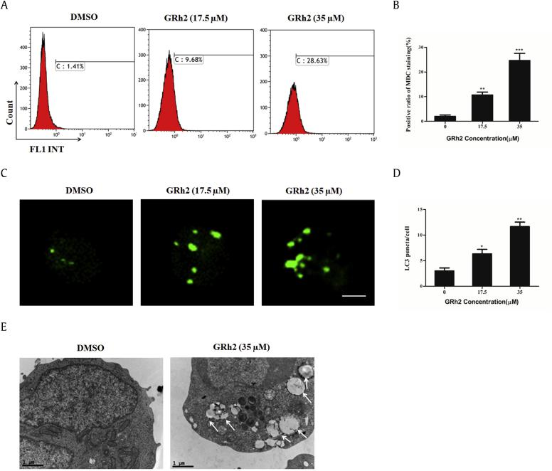 20(S)-GRh2 induced autophagy in Jurkat cells. Cells were treated with different concentrations of 20(S)-GRh2 (0, 17.5, and 35 μM) for 24 h. (A) Cells were stained with MDC, and autophagic vacuoles were detected using a flow cytometer. (B) Quantification of autophagic vacuoles in Jurkat cells. (C) The fluorescence of GFP-LC3 was observed using a laser scanning confocal microscope (bar = 5 μM). (D) The number of GFP-LC3 puncta was quantified in each cell. Quantitation represents at least 100 cells counted and scored per treatment. (E) The ultrastructure of Jurkat cells was visualized using a transmission electron microscope (bar = 5 μM). ⁎ p