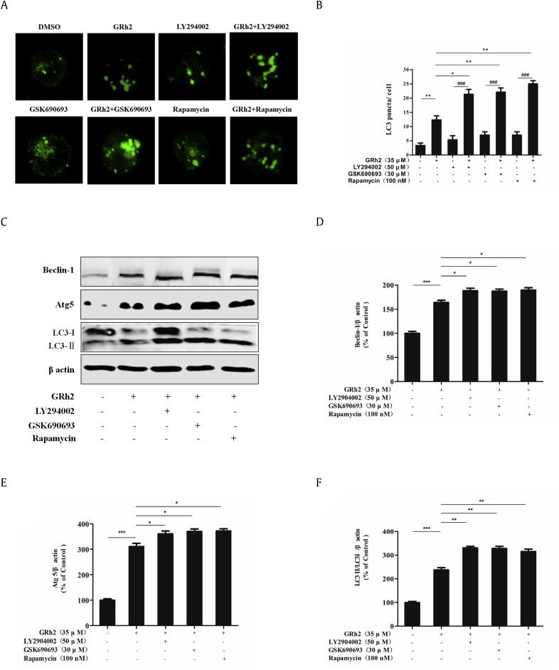 20(S)-GRh2 promoted autophagy by the PI3K/Akt/mTOR pathway. Jurkat cells were treated with 20(S)-GRh2 alone or combined with the PI3K/Akt/mTOR inhibitor for 24 h. (A) Detection of pEGFP-LC3 using a laser scanning confocal microscope (bar = 5 μM). (B) Quantification of GFP-LC3 puncta per cell. Quantitation represents at least 100 cells counted and scored per treatment. (C) The expression levels of Beclin-1, Atg5, and LC3 were analyzed by Western blot. (D) Quantification of Beclin-1 expression. (E) Quantification of Atg5 expression. (F) Quantification of LC3 expression. Data are expressed as mean ± SD. n = 3 for each group. ⁎ p