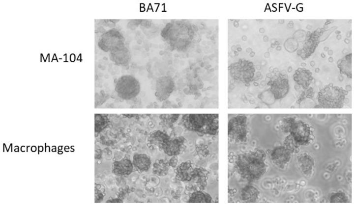 MA-104 cells were infected with the indicated virus in the presence of red blood cells. Hemadsorption was observed 24 h after infection.