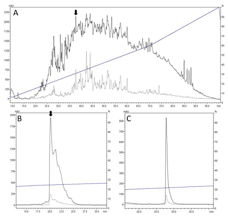 Purification of cdg14a by high-performance liquid chromatography (HPLC) using C18 semi-preparative and analytical columns. The elution profiles show two different wavelengths used: 220 nm (black) and 280 nm (grey), with the elution gradient indicated by a blue line. ( A ) Chromatogram of the crude venom extract using a C18 semi-preparative column with linear gradient ranging from 6% to 60% solvent B (90% acetonitrile with 0.1% trifluoroacetic acid) at 0.9% solvent B/min, followed by 60% to 100% at 1.3% solvent B/min. The peak of the bioactive fraction is indicated by an arrow. ( B ) Chromatogram of the bioactive fraction reinjected in the HPLC using a C18 analytical column run at a shallower linear gradient ranging from 23% to 27% solvent B at 0.15% solvent B/min. The peak of the subfraction containing the bioactive peptide cdg14a is indicated by an arrow. ( C ) Chromatogram of the purified peptide cdg14a, showing a single, symmetrical peak.