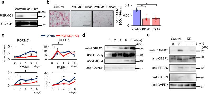 Progesterone receptor membrane-associated component 1 (PGRMC1) is required for lipid accumulation during 3T3L1 cells differentiation. a Analyses of protein expressions in differentiated 3T3L1 cells (control, KD#1, or KD#2) by western blotting using antibodies against PGRMC1 or GAPDH. b Oil Red O staining of differentiated 3T3L1. Control or two types of stable PGRMC1-KD 3T3L1 cells (PGRMC1 KD#1 and KD#2) were differentiated and stained with Oil Red O. The microscope images are shown in the upper panels of ( b ). Graphs in the lower panel of ( b ) depict the absorbance at 490 nm by Oil Red O ( n = 8). c Analyses of mRNA expression of PGRMC1, CEBPβ, PPARγ , or FABP4 in 3T3L1 cells at the indicated time periods during differentiation (control, PGRMC1 KD) by quantitative PCR (qPCR) ( n = 10). Analyses of protein expressions in undifferentiated or differentiated 3T3L1 cells (control, KD) by western blotting using antibodies against PGRMC1, CEBPβ, PPARγ, FABP4, or GAPDH. d Analyses of protein expressions in 3T3L1 control cells during differentiation by western blotting using antibodies against PGRMC1, PPARγ, FABP4, or GAPDH. e Analyses of protein expressions in undifferentiated or differentiated 3T3L1 cells (Control, KD) by western blotting using antibodies against PGRMC1, CEBPβ, PPARγ, FABP4, or GAPDH. Data represent mean ± S.E. Statistical analyses were performed using ANOVA with Tukey's T test. * P