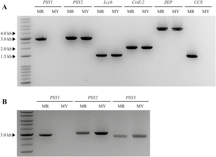 Polymorphism survey of carotenoid biosynthetic genes in the pepper genotypes 'MicroPep Red' (MR) and 'MicroPep Yellow' (MY). (A) gDNA amplification of six carotenoid biosynthetic genes using PCR. Primers were design to amplify the full length of each gene. The expected amplicon sizes were obtained for PSY2 , Lcyb , CrtZ-2 , and ZEP . No amplicon was obtained for PSY1 and CCS in MY. (B) gDNA PCR amplification of the PSY genes. No amplicon was obtained for PSY1 in MY. PSY , phytoene synthase ; Lcyb , lycopene ß-cyclase ; CrtZ-2 , ß-carotene hydroxylase ; ZEP , zeaxanthin epoxidase ; CCS , capsanthin-capsorubin synthase .