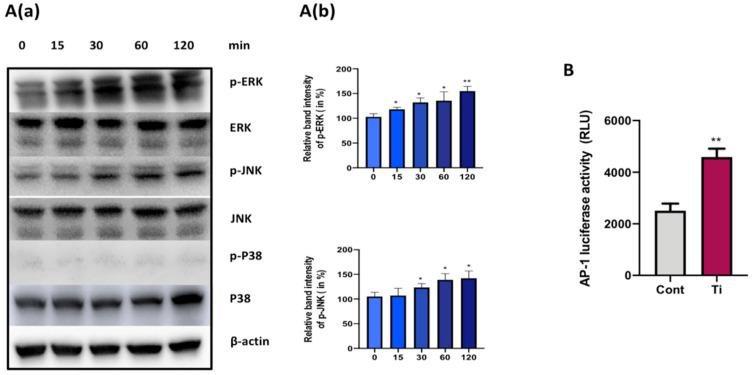 Effect of Ti particle on the activation of MAPKs in SW982 cells. ( A ( a )) Representative Western blots showing protein levels of total and phosphorylated forms of extracellular signal-regulated kinase (ERK) and c-Jun N-terminal kinase (JNK) and P38 mitogen-activated protein kinases (MAPKs) after treatment with Ti particles (cell-to-particle ratio of 1:100) of SW982 cells for 15, 30, 60, and 120 min. Here, β-actin was taken as control. ( A ( b )) Fusion FX software was utilized for quantitative densitometric analysis of the proteins. ( B ) AP1-luc reporter plasmids were transfected to SW982 cells for 24 h and luciferase activity was analyzed. Renilla luciferase activity was used for normalization. The results are demonstrated as means ± SDs of three independent experiments. In the graphical representations, * p