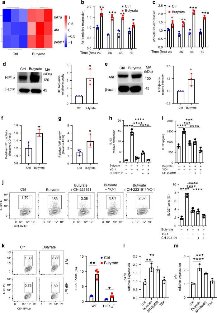 HIF1α and AhR mediate butyrate induction of IL-22 in CD4 + T cells. a WT CD4 + T cells were activated with anti-CD3/CD28 mAbs under Th1 conditions ± butyrate (0.5 mM) for 2 days ( n = 3 biologically independent samples per group). RNA sequencing was performed. Hif1α , Ahr , and Prdm1 were shown in heatmap. b – f CD4 + T cells were activated with anti-CD3/CD28 mAbs ± butyrate (0.5 mM) under Th1 conditions ( n = 3/group). Hif1a ( b ) and Ahr ( c ) were analyzed by qRT-PCR. HIF1α ( d ) and AhR ( e ) protein was analyzed by western blot on day 2. HIF1α activity was measured using HIF1α Transcription Factor Assay Kit ( f ). g Raw 264.7 cells were transduced with XRE/AhR Luciferase Reporter Gene Lentivirus, and treated ± butyrate (0.5 mM) 3 days post transduction. AhR activity was assessed by luciferase. h–j Cbir1 Tg CD4 + T cells were activated with APCs and Cbir1 peptide under Th1 conditions with butyrate (0.5 mM) ± YC-1 (5 µM) or/and CH-223191 (3 µM) for 60 h ( n = 3/group). IL-22 mRNA ( h ) and protein ( i ) were measured by qRT-PCR and ELISA. j IL-22 was measured by flow cytometry on day 5. k WT and HIF1α −/− CD4 + T cells were activated with anti-CD3/CD28 mAbs ± butyrate (0.5 mM) for 5 days ( n = 3/group). IL-22 was assessed by flow cytometry. l , m CD4 + T cells were activated with anti-CD3/CD28 mAbs under Th1 conditions with or without butyrate (0.5 mM), AR420626 (5 µM), or TSA (10 nM) for 60 h ( n = 3/group). Hif1a ( l ) and Ahr ( m ) were measured by qRT-PCR. One representative of three independent experiments was shown ( b – m ). Data were expressed as mean ± SD. Statistical significance was tested by two-tailed unpaired Student t -test ( b – g ) or two-tailed one-way ANOVA ( h – m ). b ** p = 0.0033 (24 h), *** p = 0.0002 (36 h), ** p = 0.0032 (48 h), * p = 0.0310 (60 h); c * p = 0.0338 (24 h), ** p = 0.0054 (36 h), *** p = 0.0003 (48 h), *** p = 0.0007 (60 h); d * p = 0.0178; e * p = 0.0325; f * p = 0.0273; g * p = 0.0435; h **** p