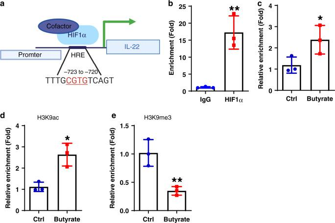Butyrate promotes HIF1α binding to Il22 promoter in CD4 + T cells. a Schematic diagram of HIF1α binding to Il22 promoter. b WT CD4 + T cells were activated with anti-CD3/CD28 mAbs under Th1 conditions for 2 days ( n = 3/group). HIF1α binding to Il22 promoter was analyzed by CHIP assay. c – e WT CD4 + T cells were cultured under Th1 conditions with or without butyrate (0.5 mM) for 2 days ( n = 3/group). HIF1α binding to Il22 promoter was analyzed by CHIP assay ( c ). The H3K9 acetylation ( d ) and trimethylation ( e ) levels in HIF1α-binding site on Il22 promoter were assessed by CHIP assay. One representative of three independent experiments ( b , c ), or two independent experiments ( d , e ) was shown. Data were expressed as mean ± SD. Statistical significance was tested by two-tailed unpaired Student t -test. b ** p = 0.0047; c * p = 0.0278; d * p = 0.0105; e ** p = 0.0094.
