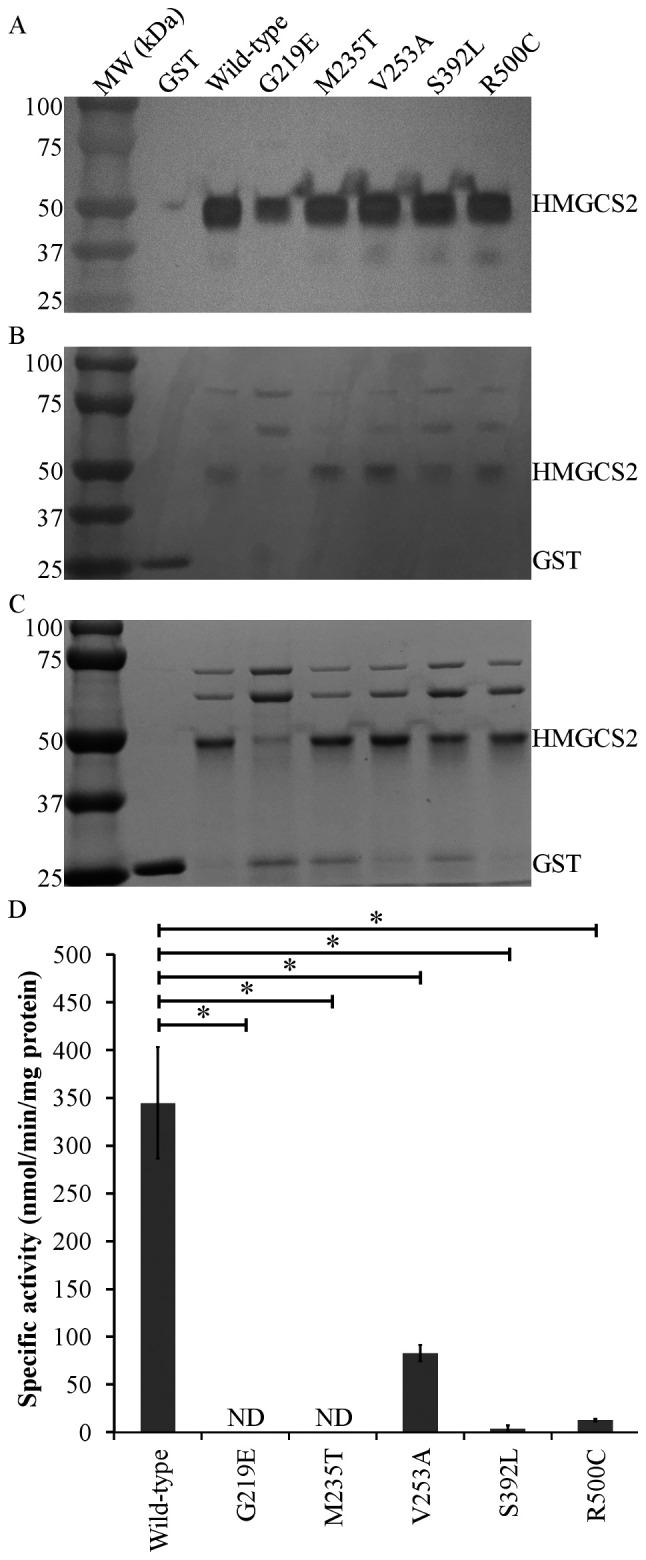 HMGCS2 expression in a bacterial system. The purified GST protein was used as a negative control. (A) Western blotting of 600 ng purified wild-type and variant HMGCS2 expressed and purified from Escherichia coli and probed with anti-human HMGCS2 antibody. (B) Ponceau staining was performed on the same membrane used for the immunoblot and shows equal protein loading and transfer. (C) <t>Coomassie</t> brilliant blue R-250 staining of 450 ng of each sample shows equal distribution of proteins in the gel. (D) Specific enzymatic activity (dark gray bars) of wild-type and the G219E, M235T, V253A, S392L and R500C mutant variants of HMGCS2. Activity measurements were performed in three independent experiments. The error bars indicate standard deviations. Significant differences were observed compared to wild-type. * P