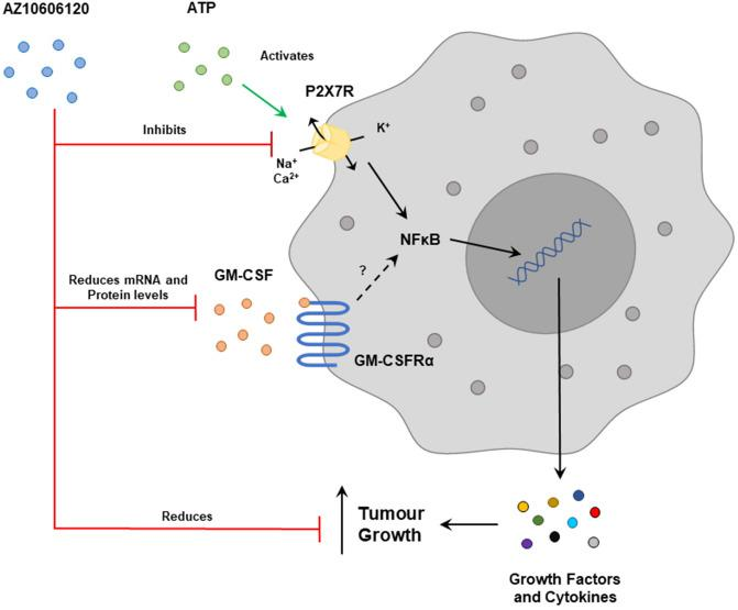Diagrammatic representation of AZ10606120 interactions with P2X7R and GM-CSF and its effects on tumour growth. P2X7R acts through NFκB to release cytokines and growth factors that can increase tumour growth. AZ10606120 is an antagonist that inhibits P2X7R and leads to a reduction in GM-CSF production in the U251 cells as well as inhibiting tumour proliferation. GM-CSFRβ is not expressed in the U251 cell line, and a role of GM-CSFRα signalling has not yet been identified.