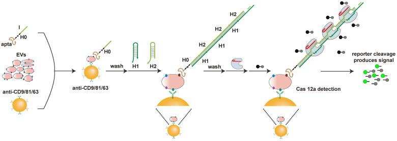 Schematic of apta-HCR-CRISPR. The EVs are captured by a cocktail of anti-CD63-, anti-CD81- and anti-CD9 antibody-coated beads and recognized with H0. The formed antibody-EV-H0 complexes trigger HCR and generate long repetitive target sequences that are specifically recognized by the added crRNA/Cas12a duplex. Target-activated Cas12a trans-cleaves nearby ssDNA-FQ reporter, resulting in readable and accumulating fluorescence signal proportional to the concentration of target positive EVs.