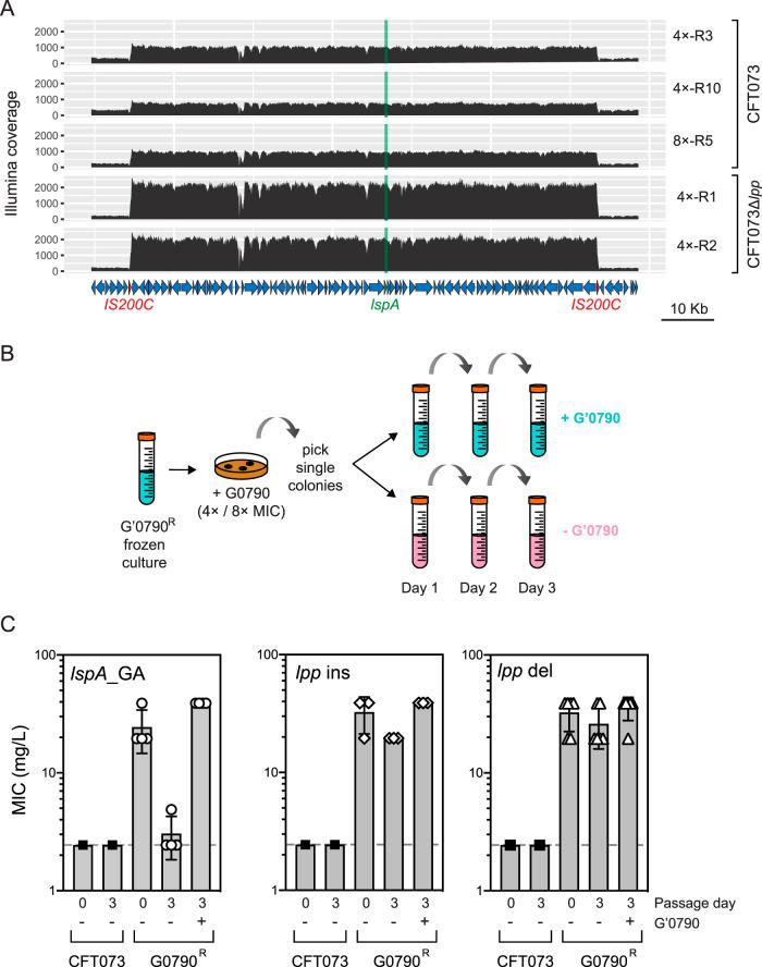Passaging of G0790-resistant strains containing GA in the absence of G0790 leads to loss of G0790 resistance. (A) Illumina coverage of lspA and surrounding genomic region in 4×-R3, 4×-R10, 8×-R5, Δ lpp 4×-R1, and Δ lpp 4×-R2. Regions with higher relative coverage than the surrounding region correspond to amplified DNA. The lspA gene is shown in green, and repeat sequences flanking the amplified region are indicated in red. (B) Schematic describing the passaging of G0790-resistant strains. G0790-resistant strains from either 4× or 8× MIC MHII agarose plates were passaged over 3 days in the presence (blue) or absence (pink) of G0790, details for which are included in Materials and Methods. (C) G0790 resistance in strains containing lspA _GA is lost after passaging for 3 days in the absence of G0790. Shown here are graphed MIC values (in mg/liter) after 3 days of passaging in the presence and absence of G0790 of WT CFT073 (■) strains containing lspA _GA (○; 4×-R3, 4×-R10, 8×-R1, and 8×-R5), lpp insertions (◊; 4×-R1, 4×-R6 and 4×-R7), or lpp deletions (△; 4×-R2, 4×-R4, 4×-R9, 4×-R1, 8×-R3, 8×-R4, and 8×-R6). Each symbol corresponds to an individual G0790-resistant strain, and the dotted lines correspond to the MIC of WT CFT073 (2.44 mg/liter). MIC data are averaged from duplicate wells and taken from two independent experiments.