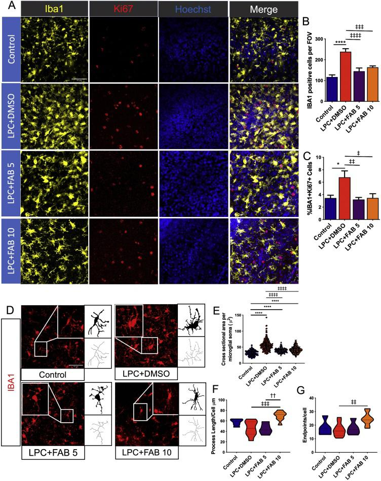 Agathisflavone modifies microglial activation state. Organotypic cerebellar slices from P10-12 Sox10-EGFP mice were maintained for 7 DIV and then treated with LPC for 15–17 h, followed by agathisflavone (FAB) at 5 or 10 μM for a further 2 DIV, or 0.1% DMSO vehicle. (A) Microglial proliferation was analyzed by immunolabelling for IBA1 (yellow) and Ki67 (red), counterstained with the nuclear dye Hoechst (blue). (B, C) Bar graph showing the number of IBA1+ microglia (B) and the percentage of IBA1+/Ki67+ proliferating microglia (C); data are expressed as the mean ± SEM (n = 5–11) and tested for significance using One-way ANOVA followed by Tukey's post-hoc test. (D) Photomicrographs and binary and skeletonized IBA + microglia illustrating morphological differences in the different treatment groups; scale bar 50 μm. (E, F, G) Individual values violin plots of microglial soma size per microglial cell (20 microglial cells/image were analyzed) (E) and violin graphs of process endpoints (F) and length (G) per microglial cell; data are expressed as the median ± IQR; * p