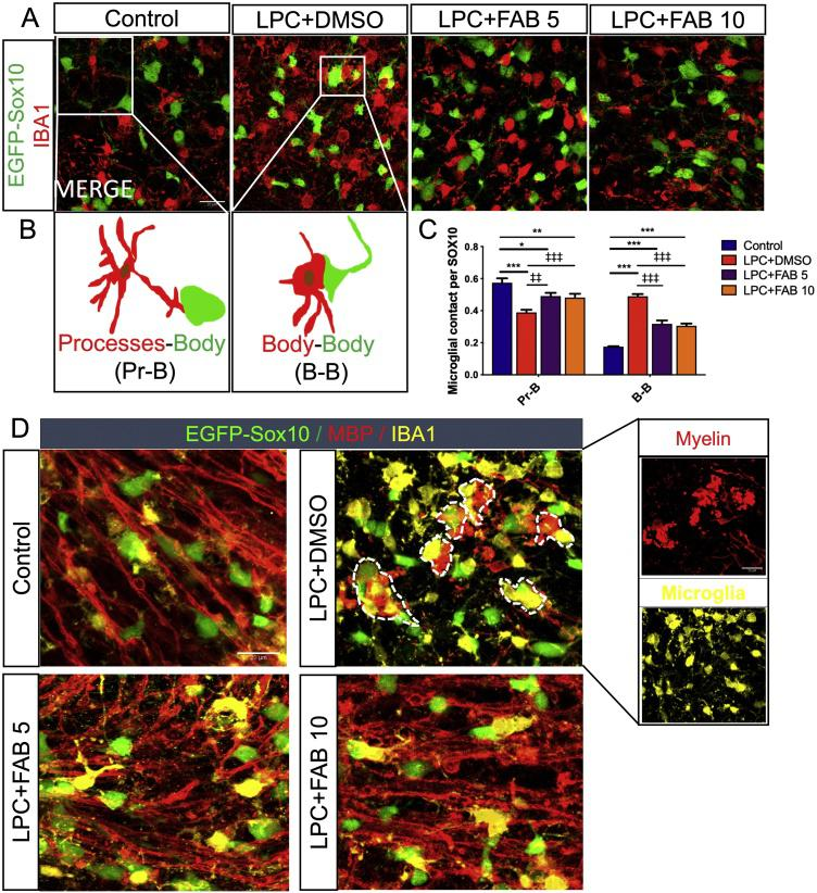 Agathisflavone modulates microglia-oligodendrocyte interactions. Organotypic cerebellar slices from P10-12 Sox10-EGFP mice were maintained for 7 DIV and then treated with LPC for 15–17 h, followed by agathisflavone (FAB) at 5 or 10 μM for a further 2 DIV, or 0.1% DMSO vehicle. (A) Photomicrographs of IBA1 immunostaining (red) and SOX10-EGFP+ oligodendrocytes (green) showing oligodendrocytes-microglia contacts in the different treatment groups; scale bar 20 μm. (B) Diagram illustrating microglial processes contacting oligodendrocytes body (Pr-B), or apposition of microglial and oligodendrocyte cell bodies (B—B). (C) Grouped bar graph showing the number of microglial contacts per SOX10+ cells; data are expressed as the mean ± SEM (n = 6), * p