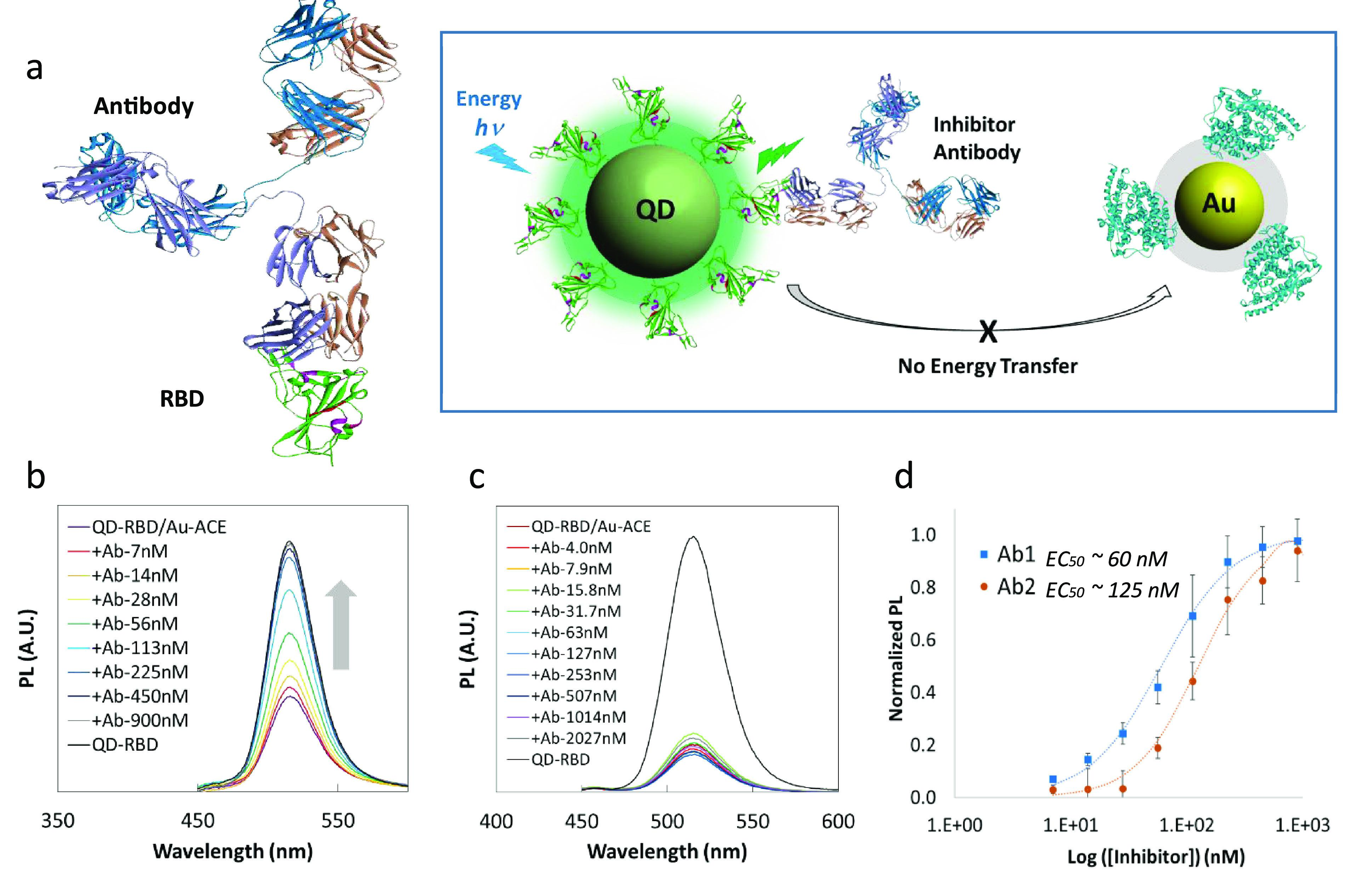 NP-based inhibition assay. (a) Left: The structure of neutralizing antibody (top) bound to SARS-CoV-2 Spike RBD (bottom, green). Right: Schematic diagram of the inhibition assay depicting blocking of the interaction between RBD and ACE2 and the resulting inhibition of energy transfer from QD to AuNP. (b) PL recovery of QD 514 -RBD in the presence of neutralizing antibody Ab1. (c) Inhibition test using anti-Spike antibody without neutralizing ability, showing almost no PL recovery of QD 514 -RBD. (d) Calculated EC 50 s for neutralizing antibodies Ab1 and Ab2 were 60 nM and 125 nM with R 2 > 99%, respectively.