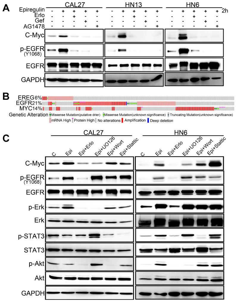 EREG-induced C-Myc expression depends on EGFR activity. (A) Western blot analysis of C-Myc, p-EGFR, and EGFR from tumor cell lines pretreated with various EGFR inhibitors for 1 h followed by stimulation with epiregulin for 2 h. (B) OncoPrint of EREG-EGFR-MYC pathway alterations in HNC. Genomic alterations of different members of this pathway are mutually exclusive. (C) Western blot analysis of C-Myc, p-EGFR, EGFR, p-AKT, AKT, p-ERK, ERK, p-STAT3, and STAT3 from CAL27 and HN6 cells pretreated with various inhibitors for 1 h followed by stimulation with epiregulin for 2 h.