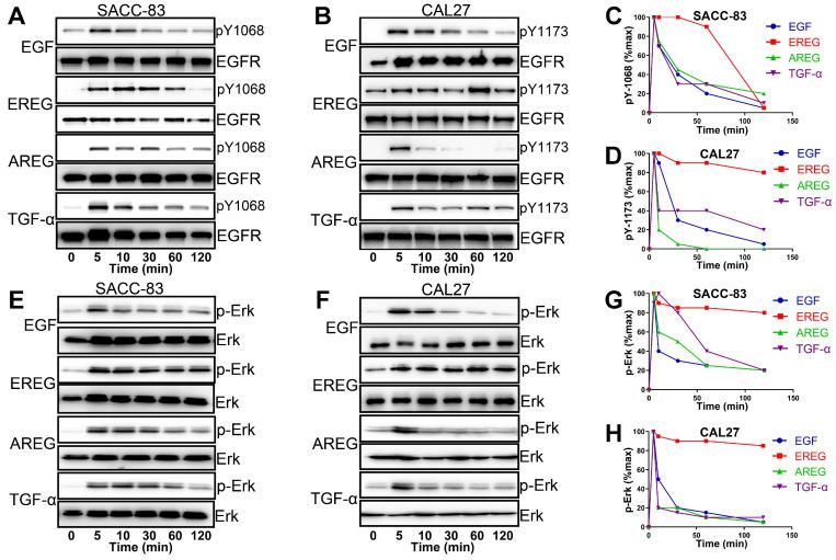 EGFR-Erk activation by epiregulin is sustained. (A) Representative time courses of EGFR phosphorylation at Y1086 in SACC-83 cells induced by EGF, EREG, AREG or TGF-α. An anti-EGFR antibody was used as a loading control. (B) Representative time courses of EGFR phosphorylation at Y1173 in CAL27 cells induced by EGF, EREG, AREG or TGF-α. An anti-EGFR antibody was used as a loading control. (C-D) Quantification of EGFR phosphorylation time courses, normalized by the signal at 5 min. The data are plotted on the same graph for multiple independent experiments quantitating phosphorylation at Y1068 and Y1173. (E-F) Representative time courses of Erk phosphorylation in SACC-83 and CAL27 cells induced by different EGFR ligands. (G-H) Quantification of Erk phosphorylation time courses, normalized by the signal at 5 min. The data are plotted on the same graph for multiple independent experiments quantifying Erk phosphorylation.
