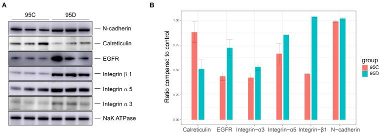 Western blot verification results. (A) Western blot assays of the protein level of CDH2, EGFR, ITGA3, TIGB1, TIGA5, and CALR. (B) The gray levels of Western blotting are shown by bar graph.