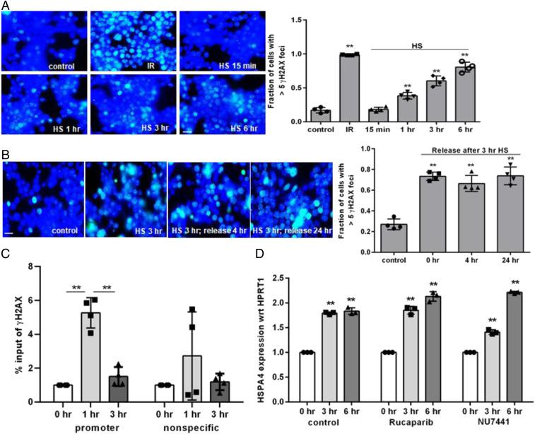 Generation of DSBs by HS and their repair via NHEJ. ( A and B ) Immunofluorescence analysis of γH2AX foci in HCT116 cells ( A ) after HS treatment at 42 °C for the indicated times and ( B ) at the indicated release times at 37 °C after 3-hr HS treatment. Other details are same as in Fig. 3 A and B . (Scale bars, 10 µm.) ( C ) Real-time PCR analysis of γH2AX ChIP in the HSPA4 gene promoter and in the nonspecific region after HS induction for the indicated times. ( D ) Real-time RT-PCR analysis of HS-induced HSPA4 activation, normalized to HPRT1 expression, in PARP inhibitor (1 µM rucaparib)- or DNA-PK inhibitor (10 µM Nu7441)-treated cells as a function of HS induction time. The data represent the average (with SD) of three or more independent experiments. Statistical analysis was performed in GraphPad Prism by using two-way ANOVA with Tukey's multiple comparisons test. ** P value