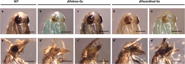 Representative phenotypes of G 0 mosaics. Pupae (a-e) and adults (A'-E'). A and A': wildtype (WT) control. B, B′, C and C′: Pxkmo mosaic mutants. D, D', E and E': Pxcardinal G 0 mosaic mutants. Differences of pupal body color were due to differences in developmental stages, while patchy eye pigmentation was linked to gene editing. Scale bar = 0.5 mm