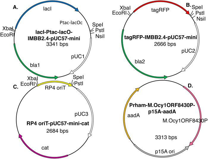 Model plasmids used in this study. The lacI-Ptac-lacO insert (A) includes a promoter that is somewhat leaky at high copy number. The IMBB2.4-pUC57-mini backbone (A–B), hereafter abbreviated pUC, is BioBrick-compatible and also includes an NsiI site downstream of PstI ( Matsumura, 2017 ). The tagRFP reporter (B) protein can cause colonies to turn visibly pink, but only when the gene encoding it is subcloned downstream of a leaky or constitutive promoter. RP4 oriT-pUC-cat (C) is a BioBrick compatible plasmid that confers resistance to chloramphenicol instead of ampicillin. RP4 oriT serves as a small stuffer in these experiments. In this study this latter plasmid is used only as a recipient plasmid (destination vector) for 3A assembly. Five expression vectors for production of recombinant DNA methyltransferases were constructed for this study. The version that expresses M.Ocy1ORF8430P, a putative ortholog of M.SpeI, is shown (D). The others are similar in design but express M.XbaI, M.EcoRI, M.PstI or M.AvaIII instead. Each plasmid utilizes the low copy number p15A origin (pACYC) and confers resistance to spectinomycin and is thus compatible with pUC plasmids that impart resistance to ampicillin, chloramphenicol or kanamycin. The DNA methyltransferase expression vectors do not contain any of the restriction sites employed in BioBrick assembly protocols (EcoRI, XbaI, SpeI or PstI), so they will not produce restriction fragments that ligate to those that are desired.