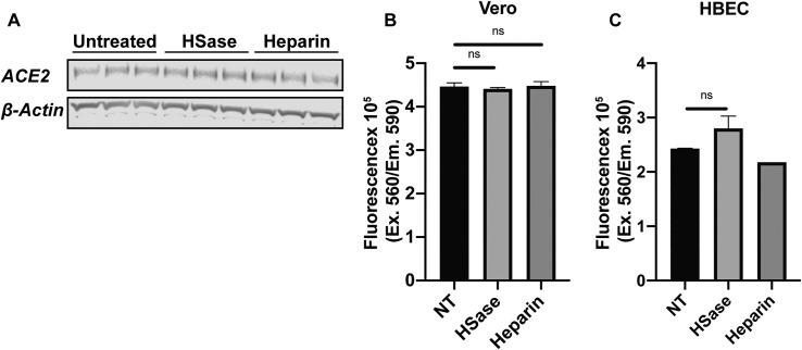 Heparin and Heparin Lyases Have No Effect on ACE2 Expression or Cell Viability, Related to Figure 7 (A) Western blot analysis of ACE2 expression in Vero E6 cells treated with heparin lyases or 100 μg/mL UFH. (B and C) Assessment of cell viability after treatment with heparin lyase or 100 μg/mL UFH for 16 h in Vero (B) and human bronchial epithelial cells (HBEC) (C). Cell viability was measured using CellTiter-Blue. Statistical analysis by unpaired t test. (ns: p > 0.05, ∗ : p ≤ 0.05, ∗∗ : p ≤ 0.01, ∗∗∗ : p ≤ 0.001, ∗∗∗∗ : p ≤ 0.0001).