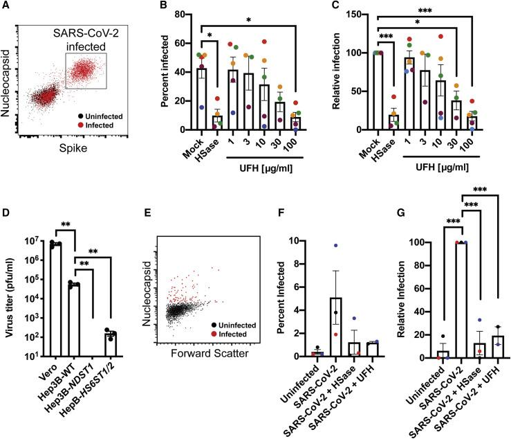 Manipulation of Cellular Heparan Sulfate Decreases Infection of Authentic SARS-CoV-2 Virus (A,) Flow cytometry analysis of SARS-CoV-2-infected (red) or uninfected (black) Vero cells stained with antibodies against SARS-CoV-2 nucleocapsid and spike protein. (B) SARS-CoV-2 infection of Vero cells performed in the absence and presence of HSase, or with incubation with different concentrations of unfractionated heparin (UFH). The extent of infection was analyzed by flow cytometry as in (A). The graph shows a composite of five separate experiments, each performed in triplicate. The MOI was 0.5, but the extent of infection varied. The MOI in the experiment shown in maroon and blue was 0.2. The mean data from the individual experiments are colorized to allow for separate visualization (C) Same data as in (B), but with the experimental data normalized to the mock infection for each respective experiment. (D) SARS-CoV-2 infection of Hep3B mutants altered in HS biosynthesis enzymes. Cells were infected for 1 h and incubated 48 h, allowing for new virus to form. The resulting viral titers in the culture supernatants were determined by plaque assays on Vero E6 cells. Average values with standard error mean are shown, along with the individual data points. The experiment was initially optimized and then performed in triplicate. (E) Flow cytometry analysis of SARS-CoV-2-infected (red) or uninfected (black) human bronchial epithelial cells at an air-liquid interface stained with antibodies against SARS-CoV-2 nucleocapsid. (F) SARS-CoV-2 infection of human bronchial epithelial cells at an air-liquid interface was performed in the absence and presence of HSase, or with incubation UFH. The extent of infection was analyzed by flow cytometry. The graph shows a composite of three separate experiments, each performed in triplicate. The mean data from the individual experiments are colorized to allow for separate visualization. (G) Same data as in (F), but with each experimental dataset normalized to the uninfected control. Statistical analysis by one-way ANOVA (B, C, and G) or unpaired t test (D); ns: p > 0.05, ∗ : p ≤ 0.05, ∗∗ : p ≤ 0.01, ∗∗∗ : p ≤ 0.001, ∗∗∗∗ : p ≤ 0.0001). See also Figure S7 .