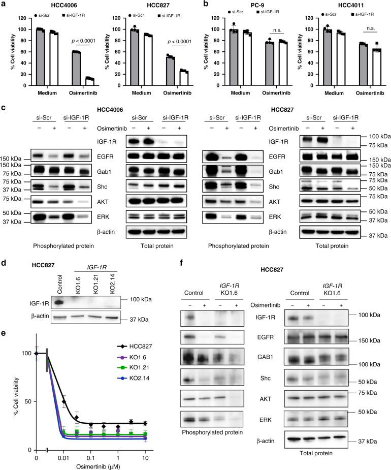 pIGF-1R supports the survival of AXL-low tumor cells after osimertinib exposure. AXL-low expressing ( a ) and AXL-high expressing ( b ) EGFR -mutated NSCLC cell lines were treated with nonspecific control (si-Scr) or siRNA specific to IGF-1R (si-IGF-1R) for 72 h in the presence or absence of osimertinib (AXL-low of HCC4006 and HCC827:30 nmol/L and 300 nmol/L, respectively; AXL-high of PC-9 and HCC4011:1 μmol/L), and cell viability was determined. The percentage of growth is shown relative to untreated controls. Data are presented as mean ± s.d. Each sample was assayed in triplicate, with each experiment repeated at least three times independently. p values are provided (one-way ANOVA). n.s.: not significant. c si-Scr or si-IGF-1R was introduced into HCC4006 and HCC827 cells. After 24 h, the cells were incubated with or without osimertinib (30 nmol/L and 300 nmol/L, respectively) for 72 h and lysed, and the indicated proteins were detected by western blotting. d IGF-1R knockdown clones of HCC827 cells by CRISPR-CAS9 (KO-1-6, KO1-21, and KO2-14) were lysed and the proteins were detected by western blotting. e HCC827 and its IGF-1R knockdown clones were incubated with various concentrations of osimertinib, and cell viability was determined using the MTT assay. Data are presented as mean ± s.d. f HCC827 and KO1-6 clones were incubated with osimertinib (300 nmol/L) for 2 h, lysed, and the indicated proteins and their phosphorylation were detected by western blotting. Data shown are representative of three independent experiments.