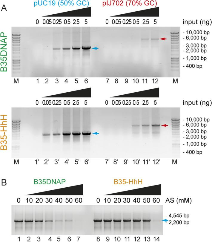 Isothermal multiple displacement amplification in different conditions. Multiple displacement amplification of plasmid DNA with different GC content ( A ) and in the presence of high salt concentrations ( B ). Plasmid full-length size after EcoRI digestion is indicated with blue or red arrow for pUC19 and pIJ702, respectively.
