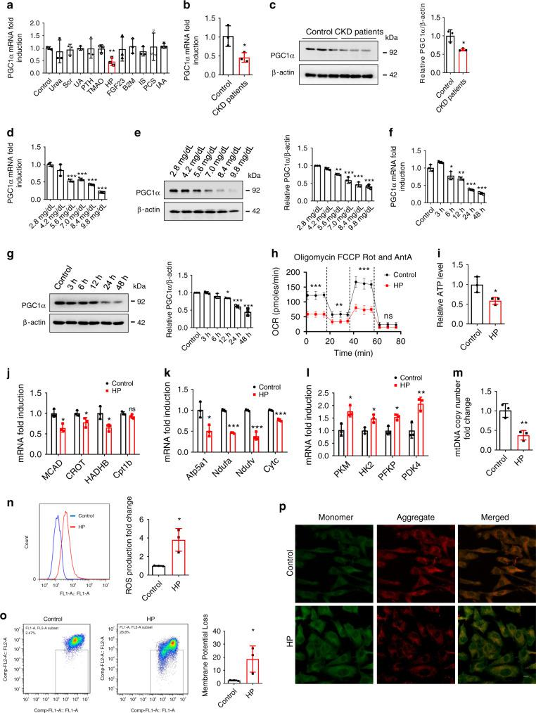HP induces PGC1α reduction and mitochondrial energy metabolism dysfunction in vitro. a H9c2 cells were treated with urea (1.2 mg/ml), serum creatinine (Scr, 80 μg/ml), uric acid (UA, 80 μg/ml), parathyroid hormone (PTH, 90 ng/ml), trimethylamine- N -oxide (TMAO, 0.751 μg/ml), HP (84 μg/ml), FGF23 (20 ng/ml), β2-microglobulin (B2M, 20 μg/ml), indoxyl sulfate (IS, 125 μg/ml), p -cresyl sulfate (PCS, 47 μg/ml), and indole-3-acetic acid (IAA, 3.5 μg/ml), separately. mRNA was extracted for qPCR analysis of PGC1α expression. b , c qPCR and western blot analysis of PGC1α expression in H9c2 cells incubated with the serum of healthy donors or CKD patients for 24 h. d – g qPCR and representative western blot analysis of PGC1α expression in H9c2 cells treated with control, various doses of HP for 24 h or HP (8.4 mg/dl) for various durations. h – p Oxygen consumption rate (OCR) ( h ), relative ATP level ( i ), relative mRNA expression of FAO genes ( j ), relative mRNA expression of OXPHO genes ( k ), relative mRNA expression of glycolysis genes ( l ), relative mitochondrial DNA copy number ( m ), ROS production ( n ), and monomer and aggregate JC-1 ( o flow cytometry; p representative images of laser scanning confocal microscopy. Scale bar, 10 μm) in H9c2 cells treated with control or HP for 24 h. Data are shown as mean ± SD and were analyzed by a two-tailed unpaired t -test ( a – c , h – o ) or one-way ANOVA ( d – g ). n = 3 ( a – g , i – p ) or n = 4 ( h ) biologically independent experiments. * P