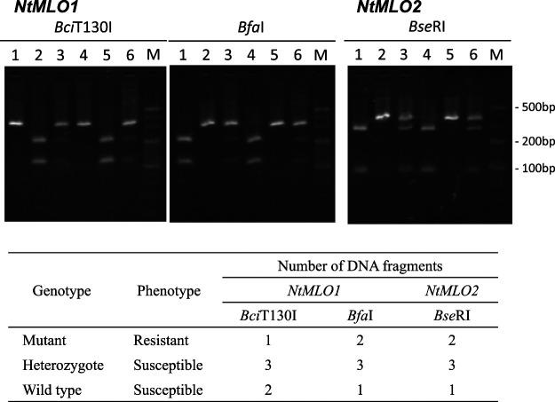 Agarose gel electrophoresis profiles of NtMLO alleles detected using the cleaved amplified polymorphic sequence (CAPS) method. Amplified DNA fragments were digested by Bci T130I or Bfa I for NtMLO1 , and Bse RI for NtMLO2 . Bci T130I and Bfa I digests the wild-type (susceptible) and mutant (resistant) NtMLO1 fragments, respectively, and Bse RI digests mutant (resistant) NtMLO2 fragments. In the heterozygotes, three (digested and undigested) DNA fragments are generated by the restriction enzyme treatment. 1: 'Tsukuba 1' (resistant); 2: 'K326' (susceptible); 3: F 1 hybrid of 'Tsukuba 1' × 'K326' (susceptible); 4: 'Kokubu' (resistant); 5: 'Ibusuki' (susceptible); 6: F 1 hybrid of 'Kokubu' × 'Ibusuki' (susceptible).