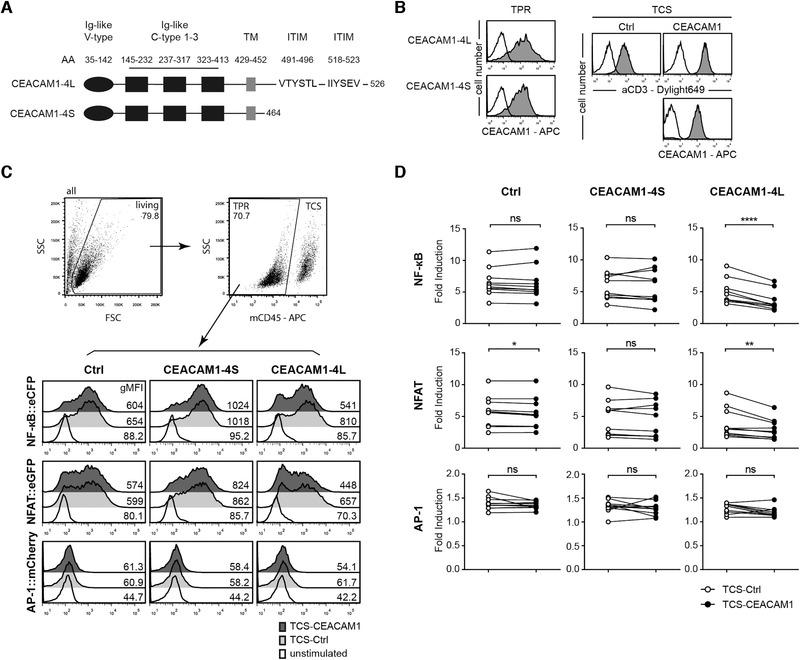 Evaluation of CEACAM1 function in a reporter cell system. (A) Schematic of CEACAM1‐4L and CEACAM1‐4S proteins. (B) Flow cytometry analysis of triple parameter reporter cells (TPR) and T cell stimulator cells (TCS). Open histograms: control cells; filled histograms: expression of indicated molecules on TPR and TCS. (C) Gating strategy and one representative stimulation experiment of control TPR and TPR‐expressing CEACAM1‐4S and CEACAM1‐4L with control TCS or TCS‐expressing CEACAM1 is shown. eGFP, eCFP, and mCherry expression was measured via flow cytometry. The histograms of unstimulated cells are also depicted. The geometric MFI (gMFI) value is shown for each histogram. (D) The indicated TPRs were stimulated with control TCS or TCS‐expressing CEACAM1. Reporter activation is shown as fold induction (gMFI of TCS‐stimulated cells/gMFI of unstimulated cells). Results are from ten independent experiments performed in triplicates. Note that some data points overlap. For statistical evaluation, paired t ‐tests were performed (**** p ≤ 0.0001; ** p ≤ 0.01; * p ≤ 0.05; ns, p > 0.05).
