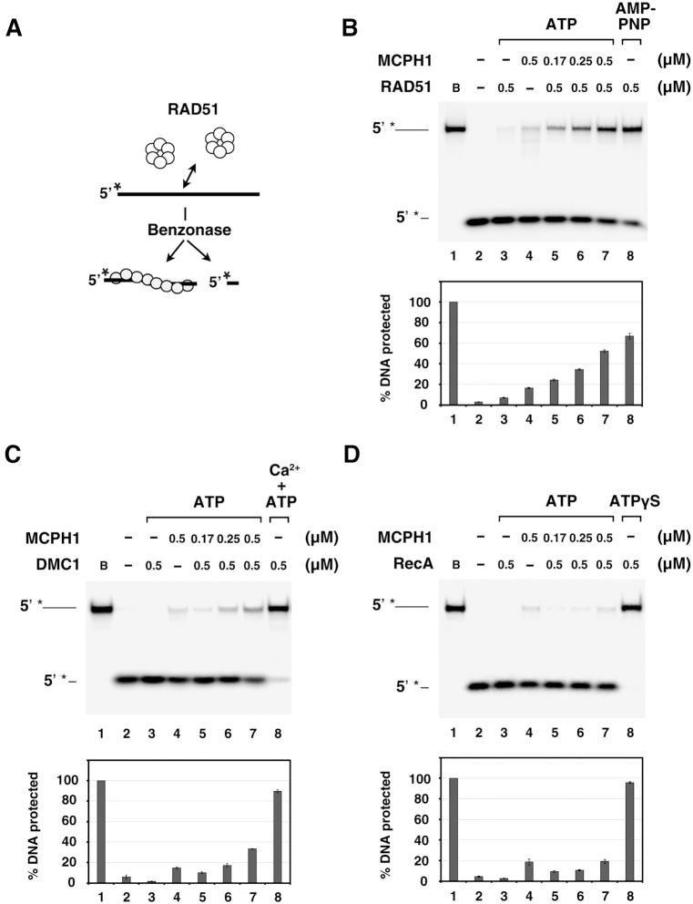 MCPH1 stabilizes RAD51 and DMC1 nucleoprotein filaments. ( A ) Schematic of our <t>Benzonase</t> protection assay. ( B ) The 5′- 32 P-labeled 80-mer ssDNA (1.5 μM nucleotides) was pre-incubated with RAD51 and then incubated with tag-free MCPH1 (lanes 5–7). RAD51 (lane 3) or MCPH1 alone (lane 4) were included as negative controls. RAD51 with AMP-PNP was included as a positive control. Then, Benzonase was added to challenge the filaments. The reactions were deproteinized and electrophoresed in 10% TBE polyacrylamide gels. The gels were dried and analyzed by phosphorimaging. The 32 P-label is denoted by the asterisk. ( C , D ) The assay was also conducted using DMC1 (C) or RecA (D) and analyzed in the same way. DMC1 with calcium (0.5 mM) or RecA with ATPγS were included as respective positive controls. Plots of percentage DNA protected are shown below the gels. Error bars represent the standard deviation (±SD) calculated from three independent experiments.