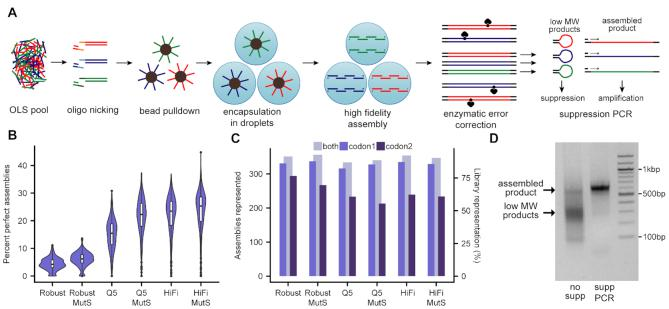 DropSynth 2.0: high-fidelity multiplexed gene synthesis in emulsions. ( A ) Schematic of DropSynth 2.0. ( B ) Comparison of percent perfect assemblies (minimum 100 assembly barcodes) of a 384-gene library assembled using DropSynth with three different polymerases (KAPA Robust, NEB Q5 or KAPA HiFi) with or without MutS-based enzymatic error correction. ( C ) Comparison of total assemblies represented with at least one assembly barcode for all conditions. Two codon versions of the 384-gene library were assembled for each condition, and representation is improved when combining across both codon usages. ( D ) A 2% agarose gel of 384-gene assembly product following bulk amplification with standard PCR or using single-primer suppression PCR; yield of assembled product is noticeably higher using single-primer suppression PCR.