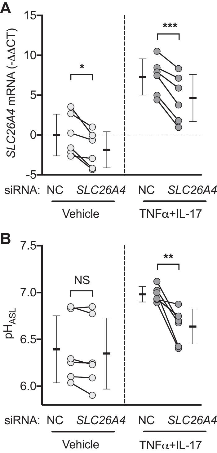 SLC26A4 (pendrin) contributes to TNFα+IL-17-induced airway surface liquid (ASL) alkalinization. A and B : siRNA directed against SLC26A4 was used to knock down expression, and pH of ASL (pH ASL ) was measured after treatment with either vehicle or TNFα+IL-17 for 24 h ( n = 6). Individual data points in each group represent epithelia from a different donor. Bars indicate means ± SD. Groups were compared with paired Student's t test. * P