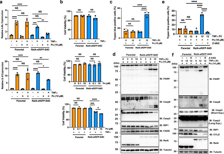 Analysis of RelA-dependent signaling in RelA-sfGFP-S4D-KI cells. a Quantitative RT-PCR for the expression of TNF-α-induced genes. Parental or RelA-sfGFP-S4D-KI cells were pretreated with DMSO or pomalidomide (Po) for 24 h. Then, the cells were stimulated with 20 ng/ml TNF-α for 1 h, and the expression of IκBα or IL-6 was measured by quantitative RT-PCR. The mRNA expression in untreated parental HeLa cells was set to 1.0. b , c Pomalidomide causes TNF-α-induced cell death. Parental and RelA-sfGFP-S4D-KI cells pretreated with DMSO or Po for 12 h were stimulated with 20 ng/ml TNF-α for 12 h, and the viability was measured by MTS assay ( b ) or trypan blue staining ( c ). d Immunoblot analysis of pomalidomide-dependent TNF-α-induced cell death. Parental and RelA-sfGFP-S4D-KI cells pretreated with pomalidomide for 12 h were stimulated with 50 ng/ml TNF-α for the indicated times, and effectors of cell death were analyzed by immunoblot. e , f zVAD-FMK treatment rescued TNF-α-induced cell death in pomalidomide-treated KI cells. Parental and RelA-sfGFP-S4D-KI cells pretreated with 10 µM Po for 12 h were then treated with DMSO or 10 µM zVAD-FMK. After 2 h of zVAD-FMK treatment, the cells were stimulated with 50 ng/ml TNF-α for 12 h and the viability was measured by trypan blue staining ( e ), or effectors of apoptosis were analyzed by immunoblot ( f ). Error bars in a – c and e represent the mean ± SD ( n = 3), and P values were calculated by one-way ANOVA with Tukey's post-hoc tests (NS not significant; * P