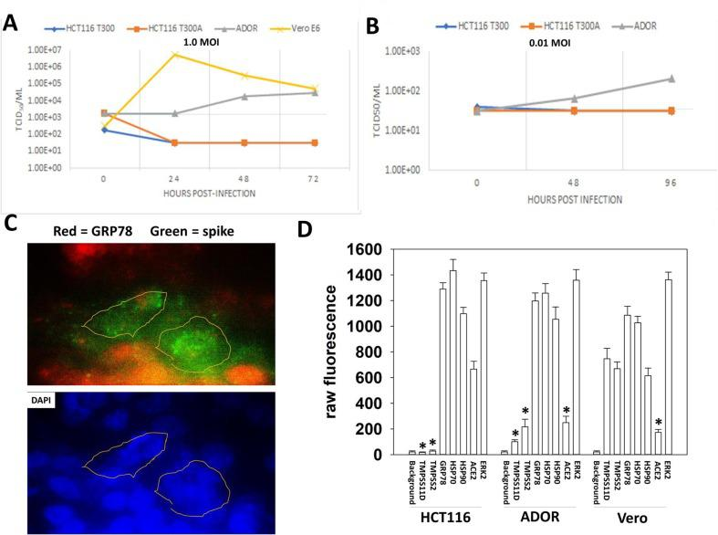 The weak infectivity of ADOR cells is associated with reduced TMPRSS2 and TMPRSS11D expression. A. and B. Vero, ADOR and HCT116 cells were infected with SARS-CoV-2 (1.0 MOI, 0.01 MOI) and the media collected 24h, 48h and 96h after infection. The media was diluted 1:10, with repeated 1:10 dilutions using the Reed-Muench method. Vero cells were afterwards infected with the media, and 72h later the media was removed from the cells and TCID50/ml values determined. C. ADOR cells were infected with SARS-CoV-2 and fixed 24h after infection. Staining was performed to determine the localization of virus spike protein, GRP78 and nuclear DNA. A representative image is presented. D. Vero and ADOR were plated and 24h after plating, fixed and stained. Fixed cells were subjected to in-cell western blotting as described in the Methods to determine the expression of the indicated proteins (n = 3 independent studies +/-SD). * p
