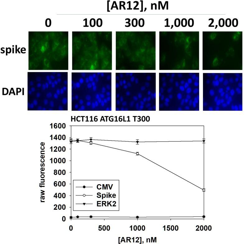 AR12 reduces SARS-CoV-2 spike protein expression in a dose-dependent fashion. HCT116 ATG16L1 T300 cells were transfected with a plasmid to express the SARS-CoV-2 spike protein. Twenty-four h later, cells were treated with vehicle control or with AR12 (100-2,000 nM) for 6h and fixed. Cells were stained to determine the expression of the SARS-CoV-2 spike protein and for ERK2 as a loading control. (n = 3 +/-SD).