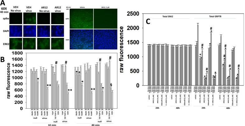 AR12 suppresses the expression of GRP78 and reduces the increase in GRP78 expression caused by SARS-CoV-2. A. Vero cells were pre-treated with vehicle control or with AR12 for 6h. Cells were infected with SARS-CoV-2 (10 MOI). Forty minutes after infection, the media was removed, and the cells washed with PBS three times. The cells were fixed in place without permeabilization and cells stained to determine the levels of spike protein on the outer leaflet of the plasma membrane, with DAPI and ERK2 as loading controls. B. Vero cells were pre-treated with vehicle control or with AR12 for 6h. Cells were then infected (10 MOI). The cells were fixed in place with permeabilization 10 min and 40 min after infection and the total expression of ACE2, GRP78, HSP90, HSP70, eIF2α, P-eIF2α S51 and ERK2 (not shown) determined. (n = 2 independent experiments each with 4 independent assessments +/-SD) *p