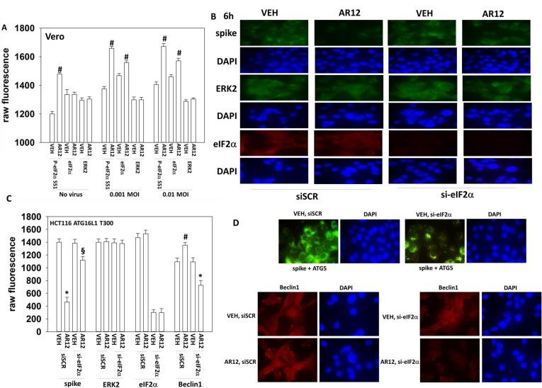 AR-12 inactivates eIF2α regardless of viral infection. A. Vero cells were treated with vehicle control or AR12 (2 μM) and 6h later infected with SARS-CoV-2 as described in the Methods. Cells were fixed after 24h and the expression of eIF2α, phospho-eIF2α serine 51 and ERK2 determined (n = 2 independent experiments each with 4 independent assessments +/-SD) # p