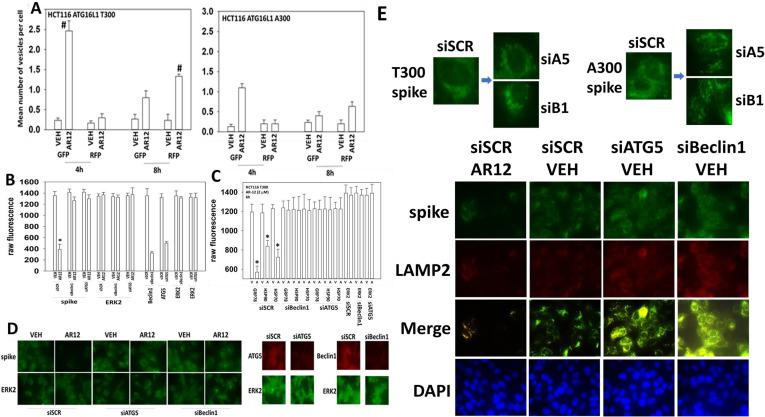 AR12 reduces the expression of SARS-CoV-2 spike protein, GRP78, HSP90 and HSP70 via autophagy. A. HCT116 cells (ATG16L1 A300 and T300) were transfected with a plasmid to express LC3-GFP-RFP. Twenty-four h after transfection, cells were treated with vehicle control or with AR12 (2 μM). Cells were imaged 4h and 8h after drug exposure and the mean number of GFP+ and RFP+ punctae per cell determined from at least 40 cells per condition (n = 3 +/-SD) # p